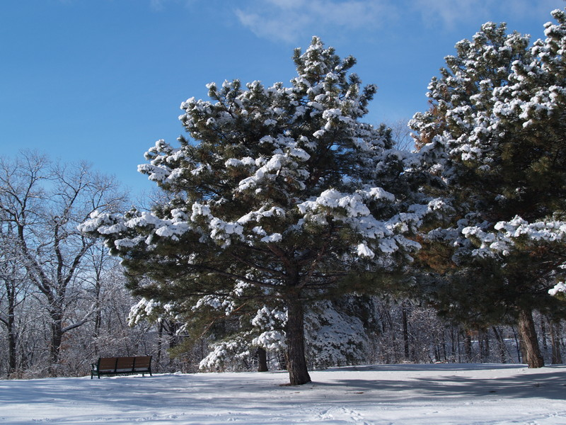 Click image for larger version  Name:Cherokee Park tree_w.jpg Views:7 Size:194.3 KB ID:11871