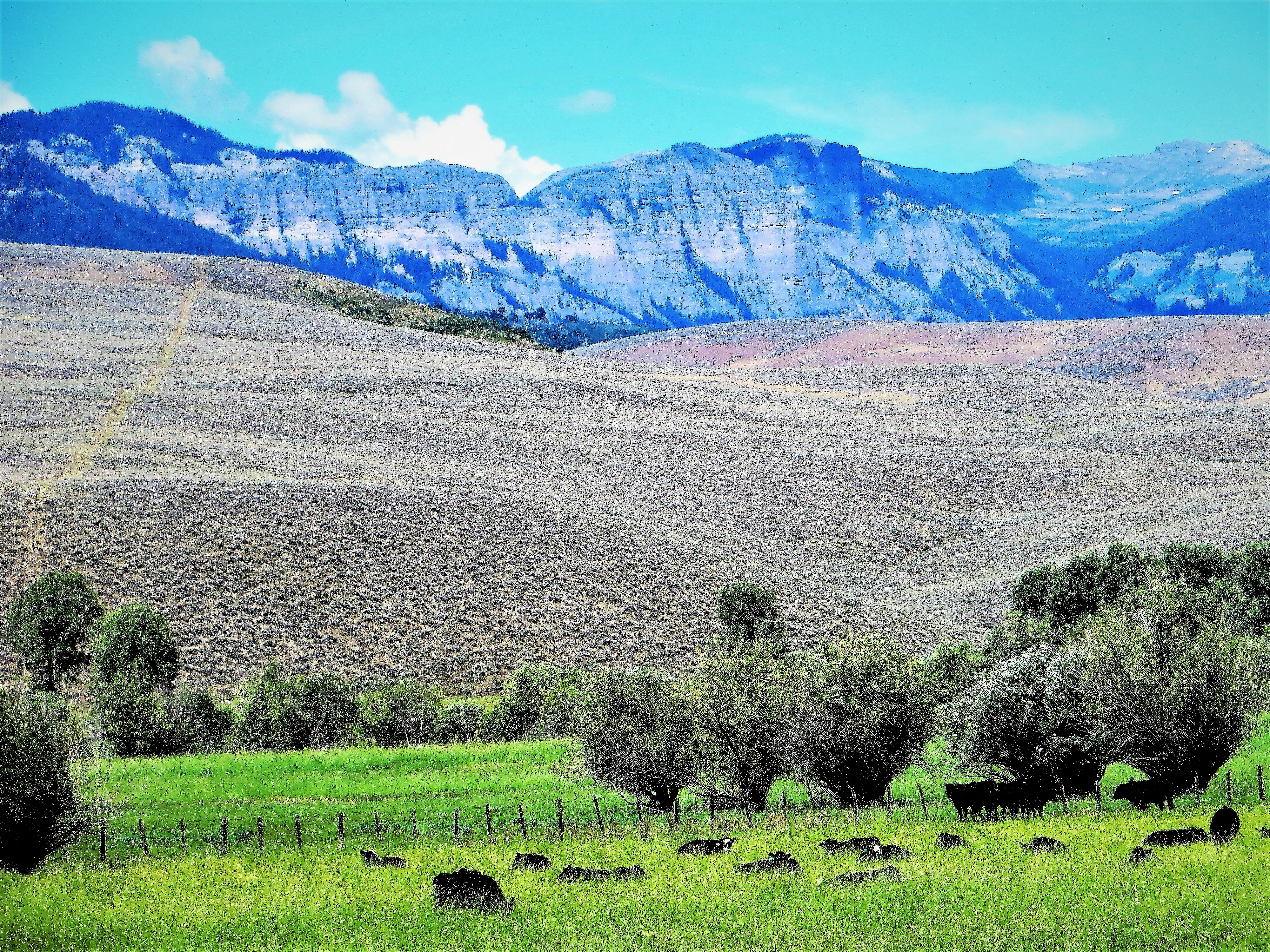 Click image for larger version  Name:Mountain Cattle.JPG Views:11 Size:7.15 MB ID:11873