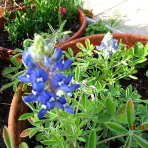 Bluebonnets in August in New England--unheard of.