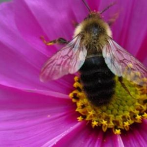 Bee on cosmos--my son took this wonderful picture.