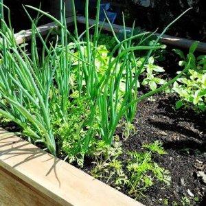 My raised planter, early summer
